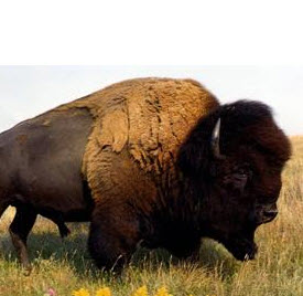 Bad Ass Buffalo (trust me!)